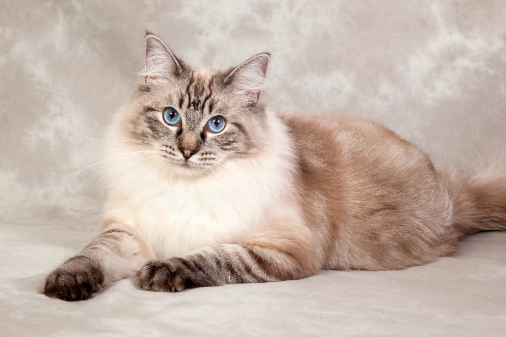 pedigree cat photo